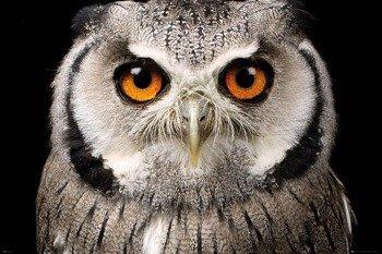 plakat OWL - FACE