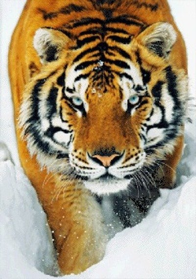 plakat 3D TIGER - SNOW