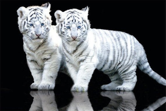 plakat WHITE TIGER - CUBS